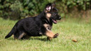 german-shepherd-puppies-for-adoption